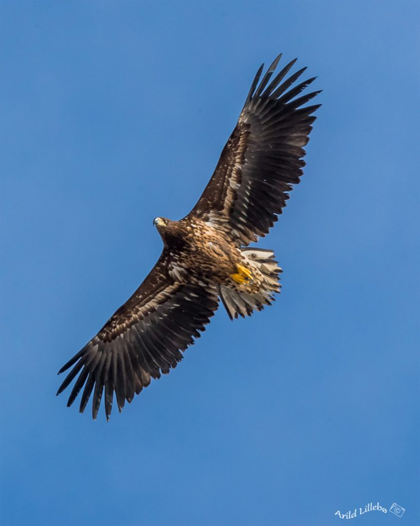 Runde Boattrip Ørn Eagle Adler
