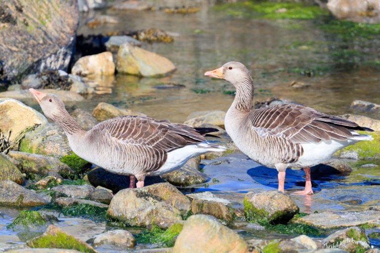 Runde Boattrip Grågås Goose Arild Lillebo